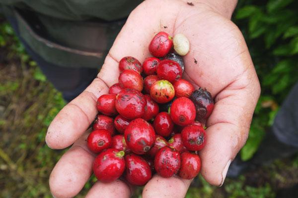 Reiseziel Panama Kaffee Reise