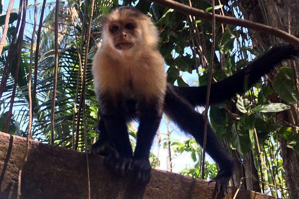 Costa Rica Reisen Affee